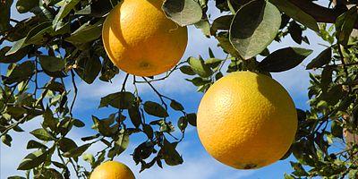 Yltäkylläisesti appelsiineja!