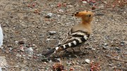 Harjalintu on ulkonäöltään ehkä kauneimpia ja erikoisimpia lintuja Kanarialla -kanariatv.fi