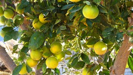 Appelsiineja - ja lisää appelsiineja! -kanariatv.fi