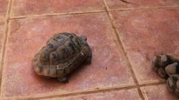 Mitä tekee teini-ikäinen koira nähdessään ensimmäistä kertaa kilpikonnan? kanariaTV.fi