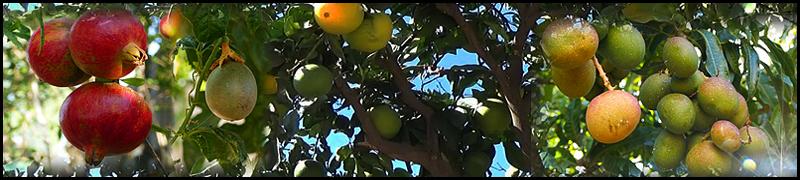 Granaattiomena,passio,appelsiini,mango -kanariaTV.fi